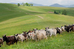 Herd of goats grazing in the meadow of green hills. Rural natural landscape Stock Photos