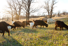 Herd of goats grazing Stock Photography