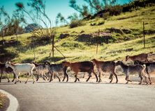 Herd of Goats Royalty Free Stock Photos