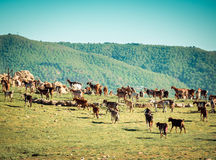Herd of Goats Royalty Free Stock Photography