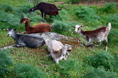 Herd of goats - horizontal Stock Image