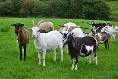 A herd of goats in Ireland stock photo