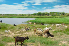 Herd of goats on lake Stock Images
