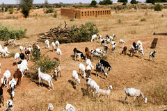 Herd of goats, Mali. The Republic of Mali is a landlocked country in West Africa Royalty Free Stock Photos