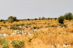 Herd of goats, Mali Stock Images