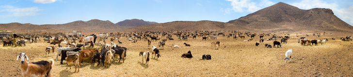 herd of goats in mountain valley Stock Images