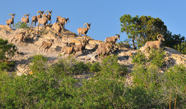 Herd of goats in mountains Royalty Free Stock Photos