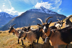 Herd of goats in the mountains Stock Photography