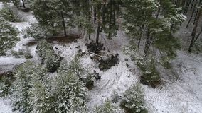 A herd of goats is moving across the snow-covered forest in search of food. Aerial shooting video 4k. A herd of goats is moving along a snow-covered field and a stock video