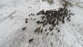 A herd of goats is moving across the snow-covered forest in search of food. Aerial shooting video 4k. A herd of goats is moving along a snow-covered field and a stock video footage
