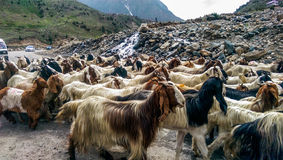 Herd of Goats Royalty Free Stock Photo