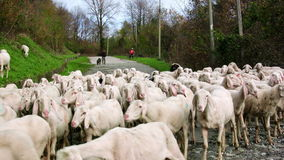 Herd of goats on pasture on an alpine road stock video