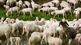 Herd of Goats on Pasture 4 stock video footage