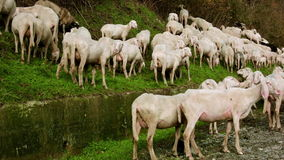 Herd of Goats on Pasture 6 stock video footage