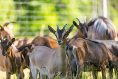 Herd of goats on pasture Stock Images