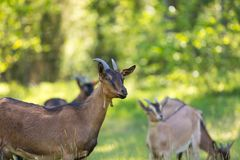 Herd of goats on pasture Stock Image