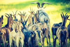 Herd of goats on pasture Stock Photos