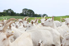 Herd of goats on pasture Royalty Free Stock Photography