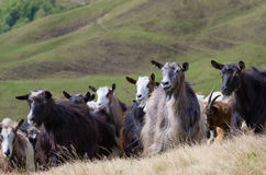 Herd of goats on the pasture in the mountains Royalty Free Stock Photos