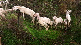 Herd of goats on pasture walking an alpine mountain path stock video