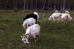 Herd of goats pops into the field. A herd of goats pops into the field royalty free stock photography