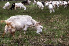 Herd of goats pops into the field. A herd of goats pops into the field stock image