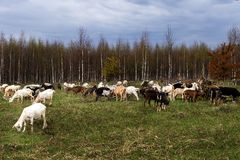 Herd of goats pops into the field. A herd of goats pops into the field royalty free stock photo
