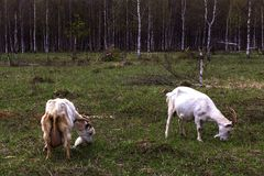 Herd of goats pops into the field. A herd of goats pops into the field royalty free stock photos