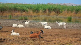 Herd Of Goats Rests At Nature stock footage