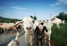 Herd of Goats on the road. Herd of goats walking on the road near grass stock photography