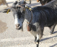 Herd of goats on the road, Crete Royalty Free Stock Photos