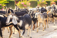 herd of goats on road in Vietnamese city in morning Royalty Free Stock Photos