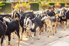 herd of goats on road in Vietnamese city in morning Stock Image