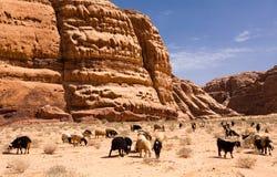 Herd of goats in rocky  desert Stock Images