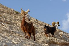 Herd of goats on rocky hillside in the desert Royalty Free Stock Photos