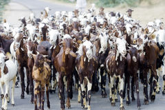 Herd of goats Royalty Free Stock Images