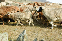 Herd of goats and sheep Stock Images