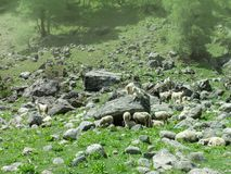 A herd of goats and sheep in Himachal Pradesh royalty free stock photo