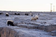 Herd of goats and sheep roaming on mountains The Environment and Landsape Mountainous ranges of Oman Stock Images