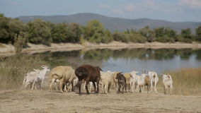 Herd of goats and sheep running to the pond stock video