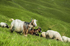 Herd of goats and sheeps. Goat on dreen hills. A herd of sheeps and goats royalty free stock photos
