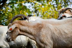 Goats. Herd of goats in a sunny autumn day stock photography