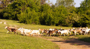 A herd of goats to pasture Royalty Free Stock Photos