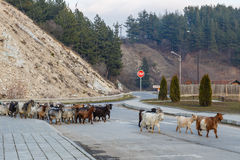 Herd of goats  on the town road Royalty Free Stock Photos