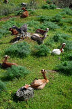 Herd of goats - vertical Royalty Free Stock Photo