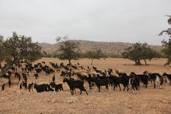 Herd of Goats. A herd of Goats walking in the dry landscape near the village of Tafraoute, Morocco Royalty Free Stock Photo