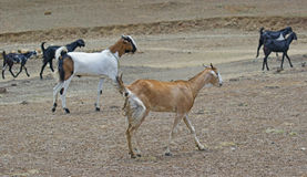 Herd of Goats Walking on Dry Plain Royalty Free Stock Photo