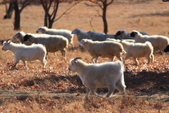 Herd of goats Stock Images