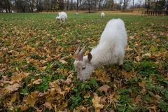 A herd of goats Zaanen breed grazing in the meadow dotted with y Stock Photography