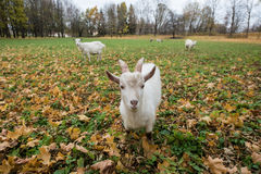 A herd of goats Zaanen breed grazing in the meadow dotted with y Stock Photo